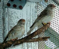 Gray Singing Finch Birds