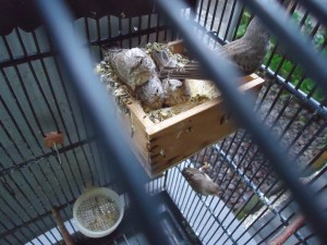 Gray Singing Finch Cage Setup