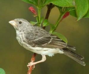 Gray Singing Finch Photos