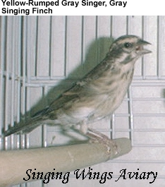 Gray Singing Finch Pictures