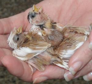 Society Finch Babies