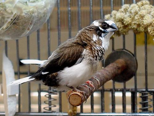 White Bird Mites Society Finch Facts, C...