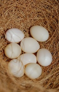 Society Finch Eggs