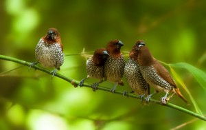 Spice Finch Birds
