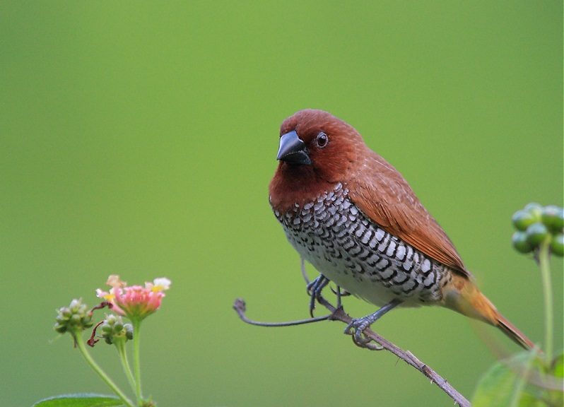 Spice Finch Images