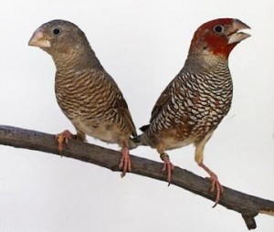 Spice Finch Male and Female