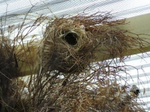 Spice Finch Nest