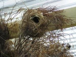Spice Finch Nest