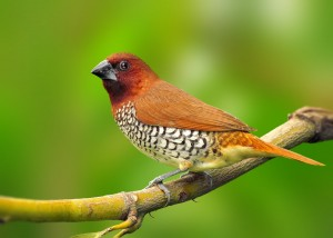 Spice Finch Pictures