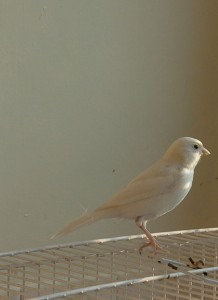 White Domestic Canary