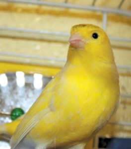 Yellow Domestic Canary