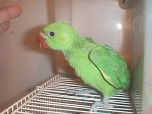 Baby Ringneck Parakeet