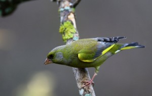 European Greenfinch Bird