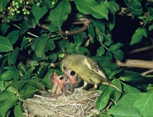 European Greenfinch Chicks