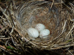 European Greenfinch Eggs