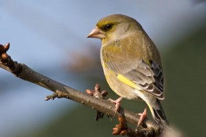 European Greenfinch Images