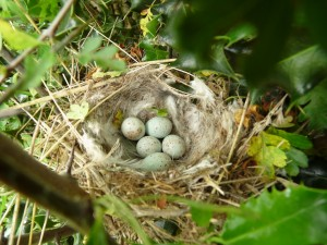 European Greenfinch Nest