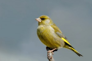 European Greenfinch Photos