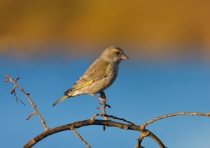 European Greenfinch Pictures