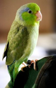 Female Pacific Parrotlet