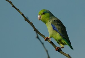 Pacific Parrotlet Pictures