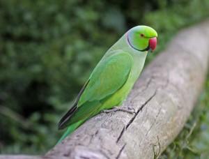 Ringneck Parakeet Images