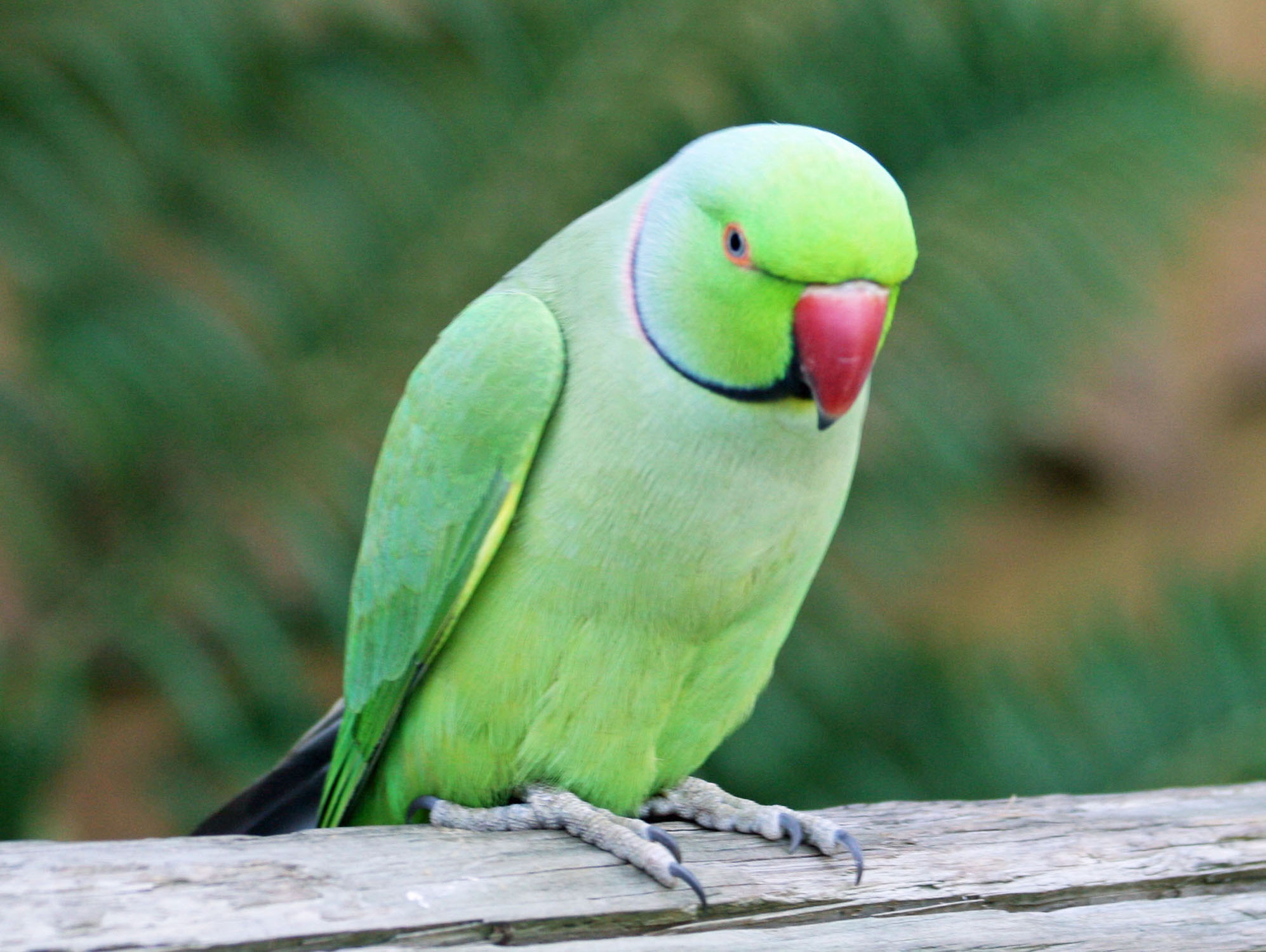 essay bird parrot The 'parrot' is a very beautiful bird its feathers are green it has a red beak its beak is curved round the neck of a parrot there are black rings.