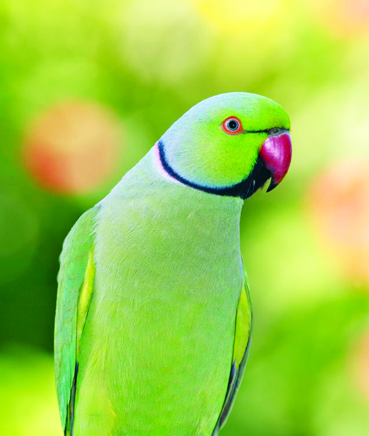 What is a good healthy diet for my parakeet?