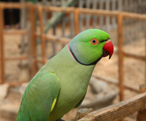 Ring Necked Parakeet Baby
