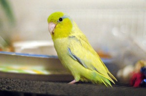 Yellow Pacific Parrotlet