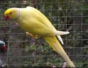 Yellow Ringneck Parakeet