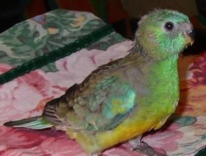Baby Red Rump Parakeet
