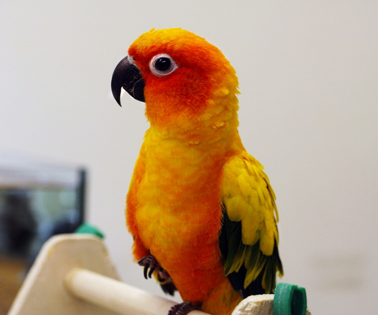 Conures: Facts, List of Types & Care as Pets | Singing-Wings-Aviary com