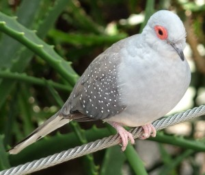 Diamond Dove