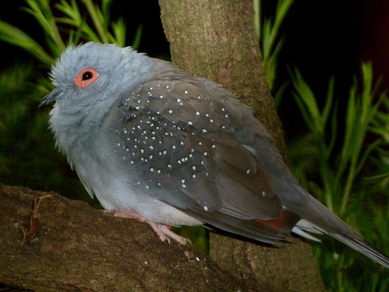 diamond dove facts pet care temperament feeding