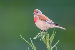 European Linnet Bird