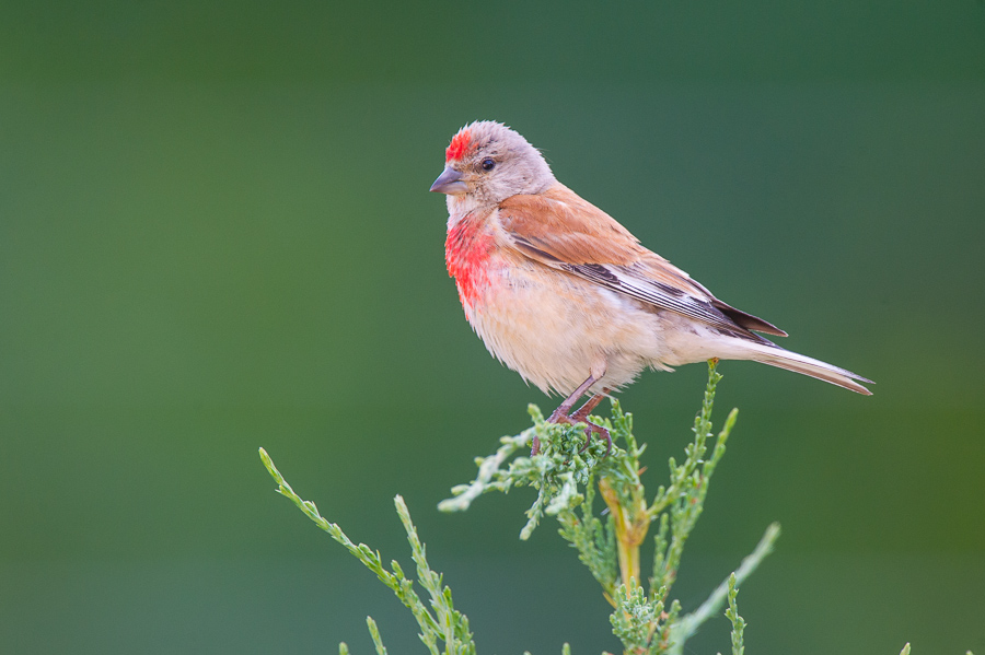 Loss Of Pet >> European Linnet Facts, Temperament As Pets, Care, Pictures   Singing Wings Aviary