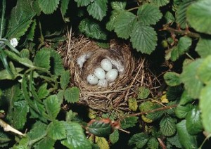 European Linnet Eggs in Nest