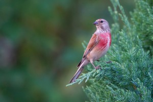 European Linnet Pictures