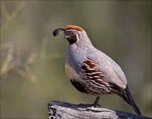 Gambel's Quail Birds