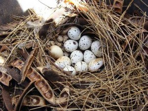 Gambel's Quail Nest