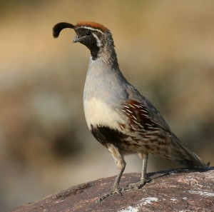Gambel's Quail Photos