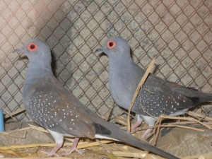 Male and Female Diamond Doves