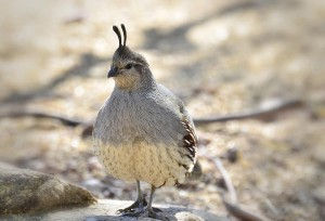Pictures of Gambel's Quail
