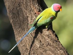 Plum Head Parakeet