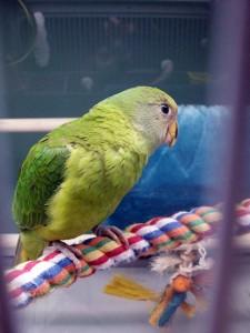 Plum Headed Parakeet Baby