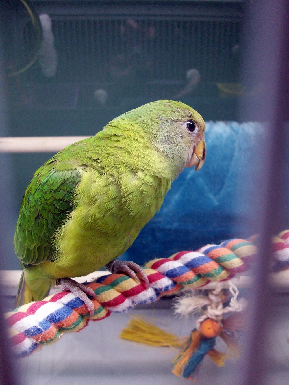Plum-headed Parakeet Facts, Pet Care, Temperament, Pictures