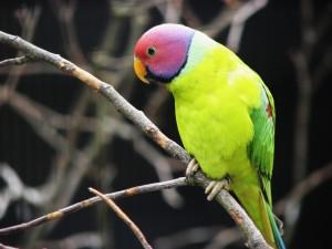 Plum Headed Parakeet Bird