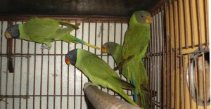 Plum Headed Parakeet Chicks