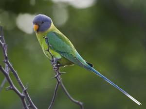 Plum Headed Parakeet Female